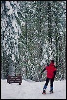 Hiker on snowshoes entering Tuolumne Grove in winter. Yosemite National Park, California