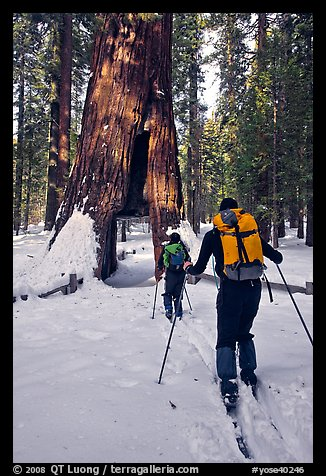 Skiers approaching the California Tunnel Tree, Mariposa Grove. Yosemite National Park, California (color)