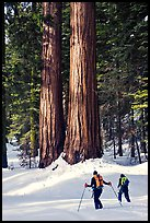Cross-country skiers at the base of Giant Sequoia trees, Mariposa Grove. Yosemite National Park, California (color)