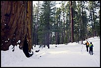Skiing past a giant Sequoia Tree in winter, Mariposa Grove. Yosemite National Park, California