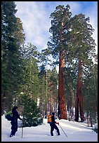 Skiers pause near the characteristic Clothespin tree, Mariposa Grove. Yosemite National Park, California