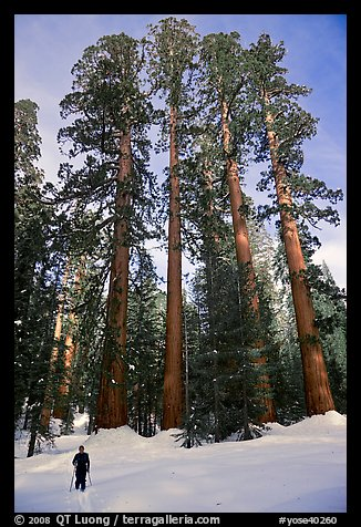 Skier and Upper Mariposa Grove in winter. Yosemite National Park, California