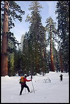 Cross-country skiing in the remote Upper Mariposa Grove. Yosemite National Park, California (color)