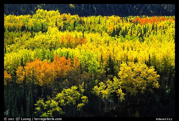 Aspen trees in bright autumn colors, Riley Creek drainage. Denali National Park, Alaska, USA.