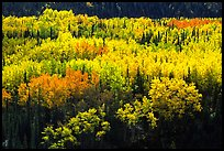 Aspen trees in bright autumn colors, Riley Creek drainage. Denali National Park ( color)