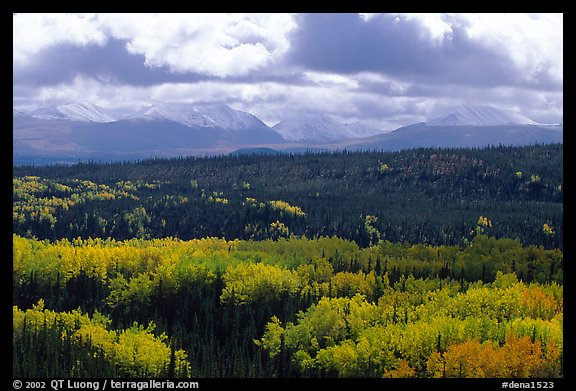 Aspen trees in fall foliage and Panorama Mountains, Riley Creek. Denali National Park (color)