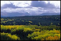 Aspen trees in fall foliage and Panorama Mountains, Riley Creek. Denali National Park, Alaska, USA.
