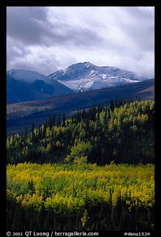 Aspens in yellow  fall colors and Panorama Range, Riley Creek drainage. Denali National Park (color)