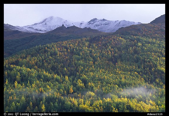Hillside with aspens in fall colors. Denali National Park (color)