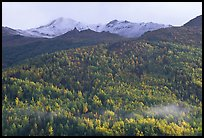 Hillside with aspens in fall colors. Denali National Park, Alaska, USA. (color)