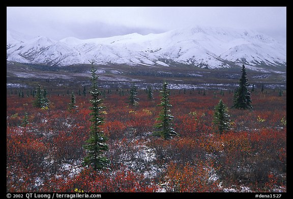 Spruce trees, tundra, and peaks with fresh snow. Denali National Park, Alaska, USA.