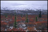 Spruce trees, tundra, and peaks with fresh snow. Denali National Park ( color)