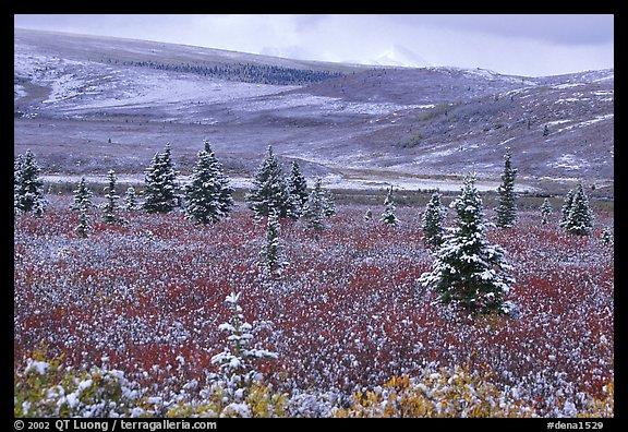 Dusting of snow on the tundra and spruce trees near Savage River. Denali National Park (color)