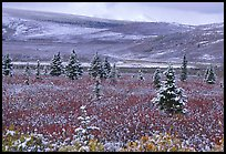 Dusting of snow on the tundra and spruce trees near Savage River. Denali National Park, Alaska, USA. (color)