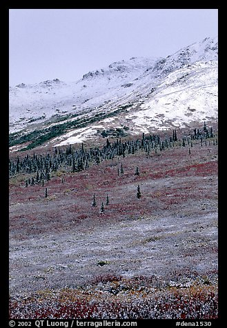 Dusting of fresh snow and autumn colors on tundra near Savage River. Denali National Park, Alaska, USA.