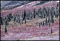 Spruce trees and tundra covered by fresh snow, near Savage River. Denali National Park, Alaska, USA.