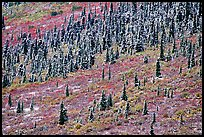 Spruce trees and tundra covered by fresh snow, near Savage River. Denali National Park, Alaska, USA. (color)
