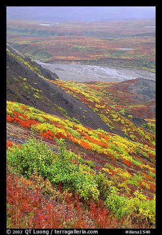 Tundra in autumn color and braided river in rainy weather. Denali National Park, Alaska, USA.