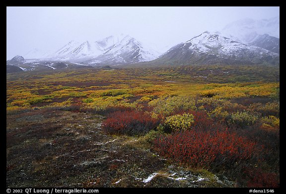 Tundra in autumn color and Polychrome Mountains in fog. Denali National Park (color)