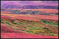 Tundra in fall colors and river cuts near Eielson. Denali National Park, Alaska, USA. (color)