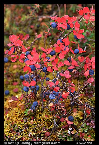 Blueberries in the fall. Denali National Park, Alaska, USA.