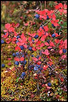 Blueberries in the fall. Denali National Park, Alaska, USA. (color)
