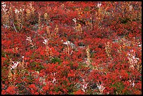 Dwarf tundra plants in autumn. Denali National Park, Alaska, USA.