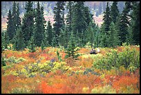 Bull Moose in boreal forest. Denali National Park, Alaska, USA. (color)