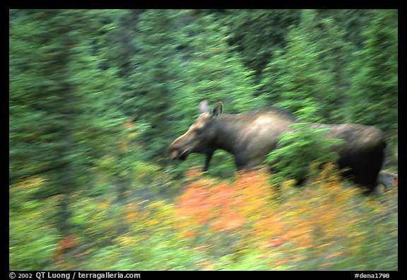 Cow Moose with motion blur. Denali National Park (color)