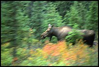 Cow Moose with motion blur. Denali National Park, Alaska, USA. (color)
