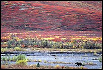 Grizzly bear on river bar. Denali National Park, Alaska, USA. (color)