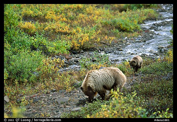 Grizzly bear and cub digging for food. Denali National Park, Alaska, USA.