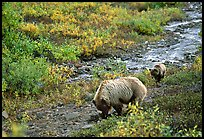 Grizzly bear and cub digging for food. Denali National Park, Alaska, USA. (color)