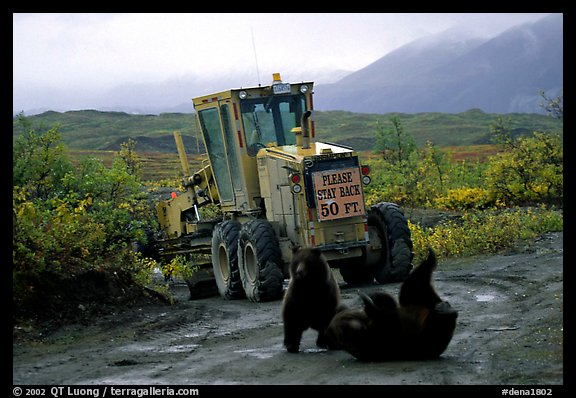 Two Grizzly bears playing. Denali National Park (color)