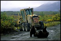 Two Grizzly bears playing. Denali National Park, Alaska, USA. (color)