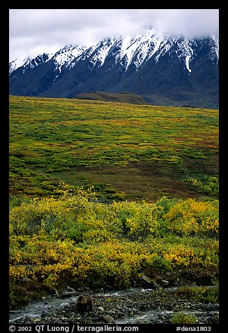 Grizzly bear and Alaska range. Denali National Park (color)
