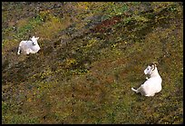Two Dall sheep. Denali National Park, Alaska, USA. (color)