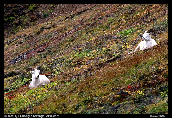 Two Dall sheep on hillside. Denali National Park (color)