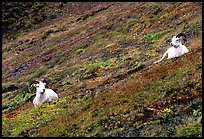 Two Dall sheep on hillside. Denali National Park, Alaska, USA.