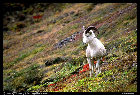 Dall sheep standing on hillside. Denali National Park (color)