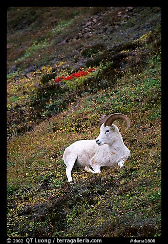 Dall sheep laying on hillside. Denali National Park (color)