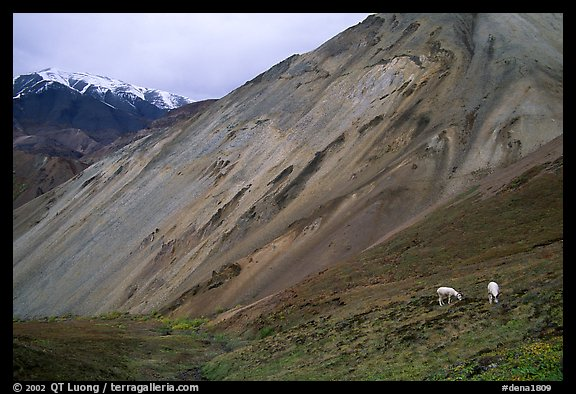 Dall sheep near Sable Pass. Denali National Park (color)