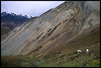Dall sheep near Sable Pass. Denali National Park, Alaska, USA. (color)