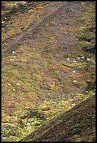 Hillside with many distant  Dall sheep. Denali National Park, Alaska, USA.
