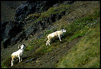 Two Dall sheep climbing on hillside. Denali National Park, Alaska, USA.