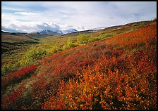 Red bushes on hillside, and cloud-capped mountains. Denali National Park, Alaska, USA.