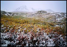 Fresh dusting of snow on autumn brush mountains in fog. Denali National Park, Alaska, USA.