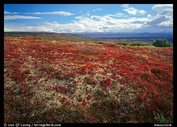 Tundra with Low lying leaves in bright red autumn colors. Denali  National Park (color)