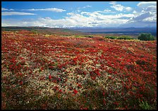 Tundra with Low lying leaves in bright red autumn colors. Denali National Park, Alaska, USA.
