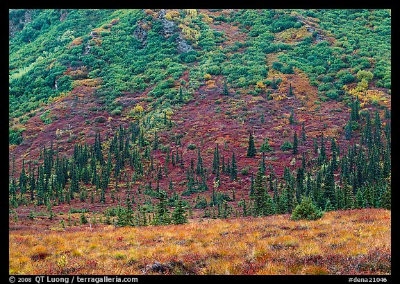 Tundra and conifers on hillside with autumn colors. Denali National Park, Alaska, USA.